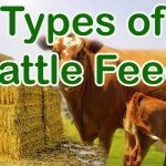 Types of cattle Feeds