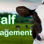 calf management, cow management