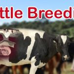 Cattle Breeding, cow Breeding