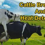 Cattle Breeding and Heat Detection