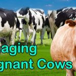 Pregnant Cow Managing, pregnant cows, cow manage